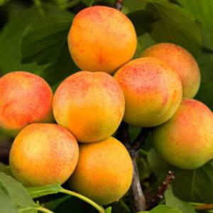 Купить саженцы абрикоса в твери