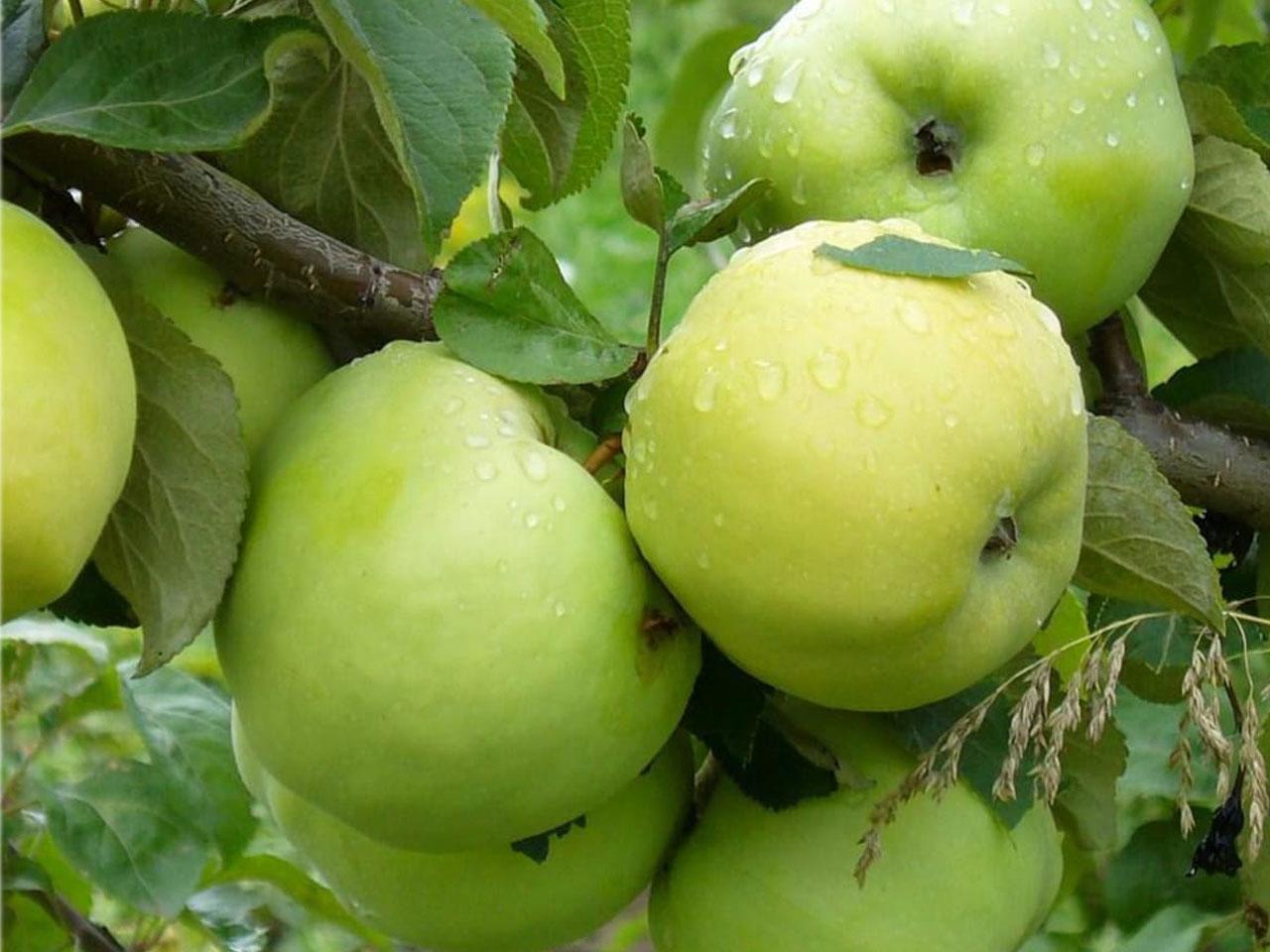 Купить саженцы яблони в Твери