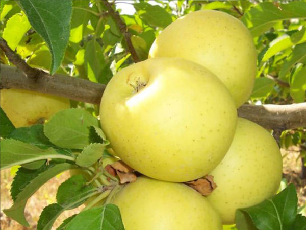 Яблоня Брянское золотистое