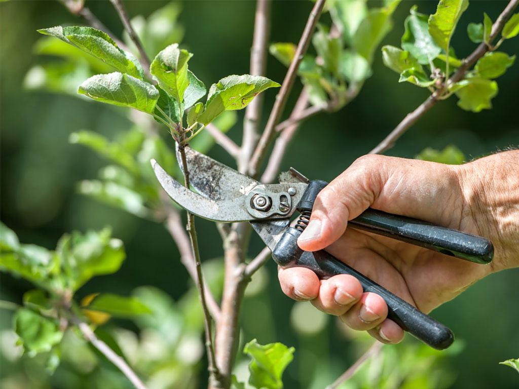 Купить саженцы плодовых деревьев в Твери