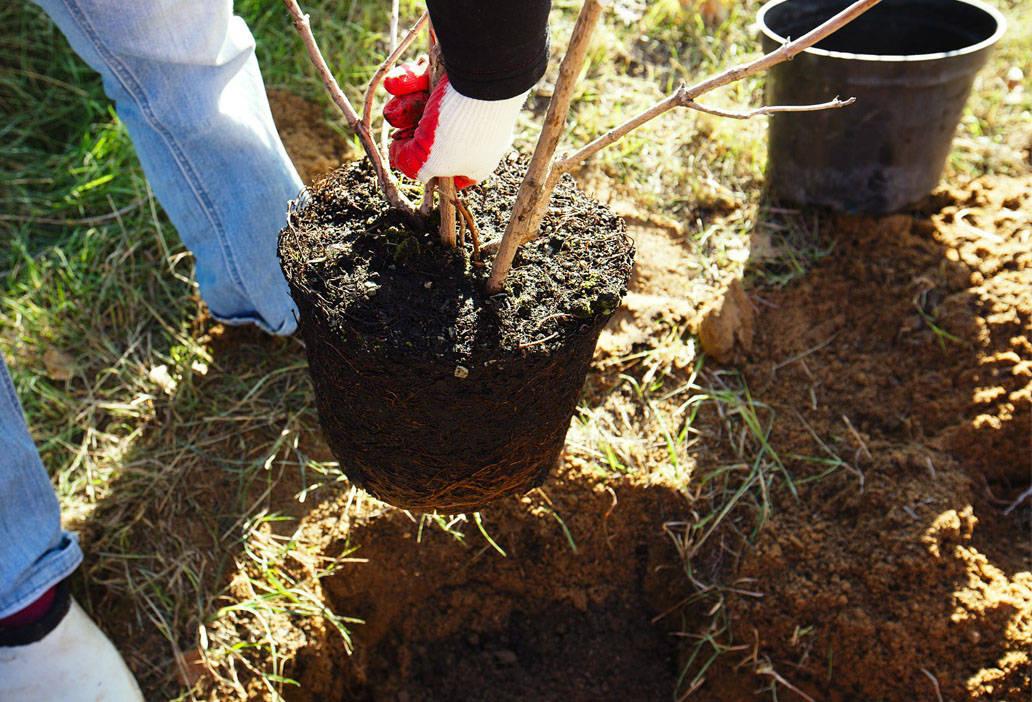 Растения с закрытой корневой системой (ЗКС)