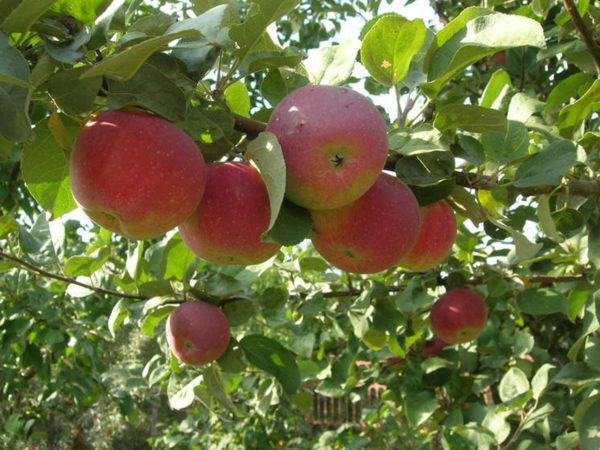 Яблони Орлик