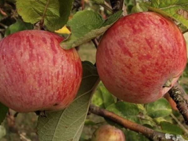 Яблоня Штрейфлинг (Осеннее полосатое)