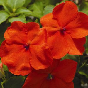 Цветы Бальзамин Уоллера