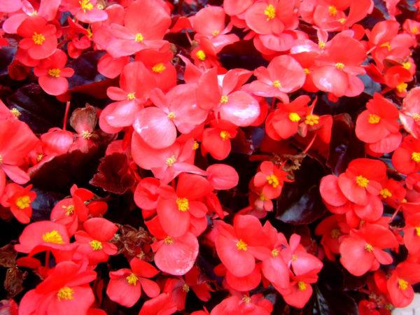 Цветы Бегония изящная