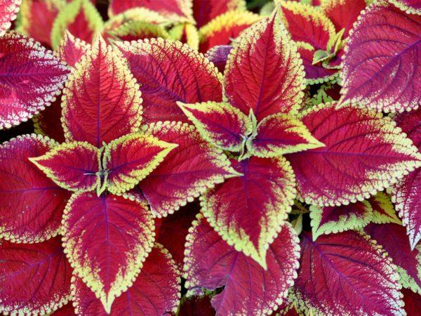 Цветы Колеус Блюме