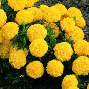 Цветы Тагетес прямостоячий