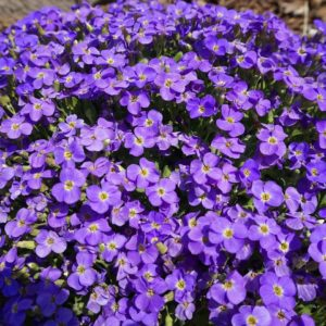 Цветы Аубриетта гибридная