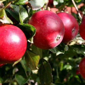 Яблоня Красное ранее