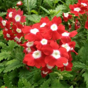 Цветы Вербена гибридная