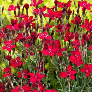"Цветы гвоздика травянка ""Brilliant Red"""