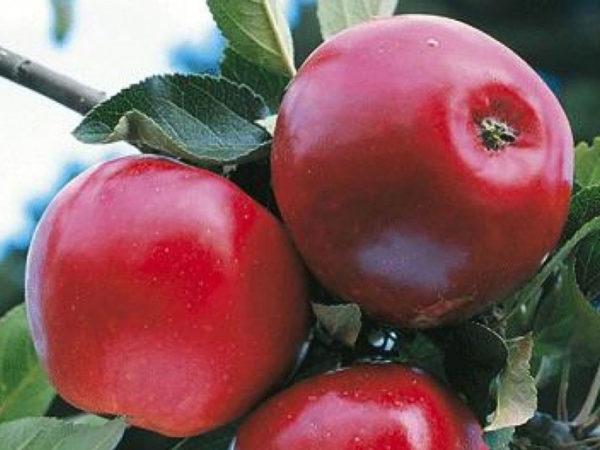 Яблоня Дарья