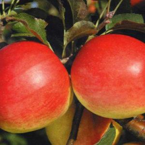 Яблоня Лиголина