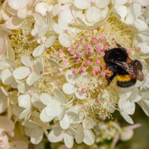 """Гортензия """"Bee Happy"""""""
