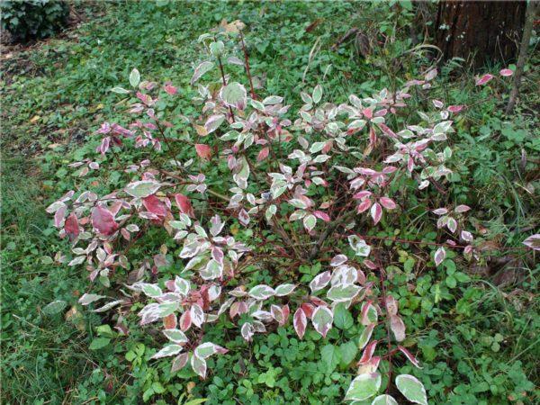 "Дёрен ""Sibirica variegata"""